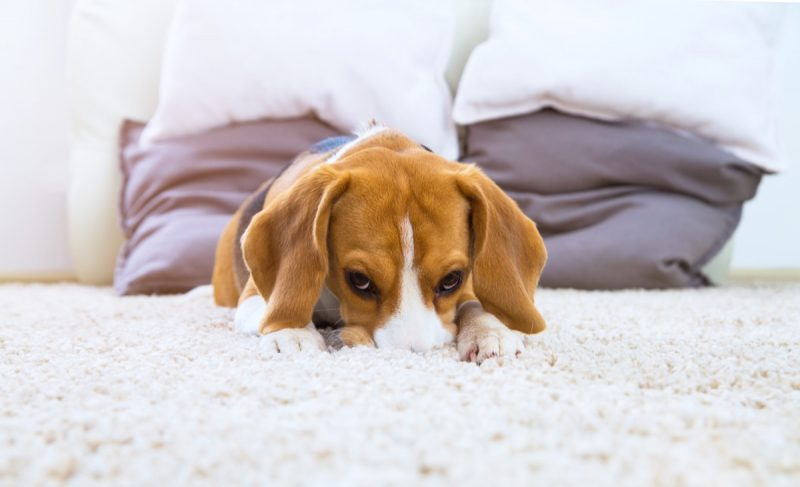 keep carpet clean with dogs