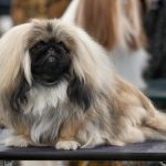 Some of The Best Small Dog Breeds That You Should Know About