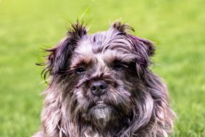 small dog breeds Affenpinscher